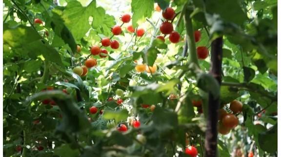 """用人工智能种番茄 收获""""儿时味道"""""""