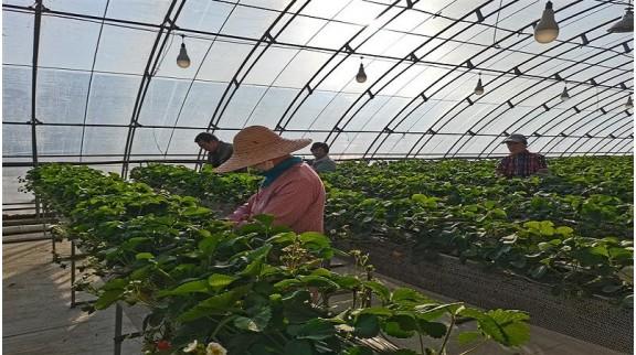 北京打造5G高架无土栽培草莓智能温室